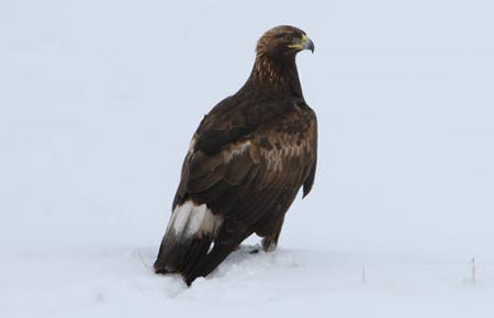 Picture of a golden eagle