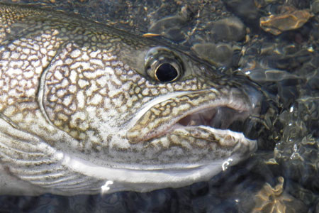 Photo of a Lake Trout