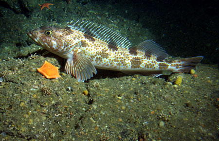 Photo of a Lingcod