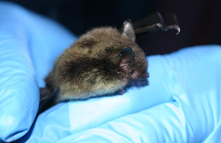 Photo of a little brown bat