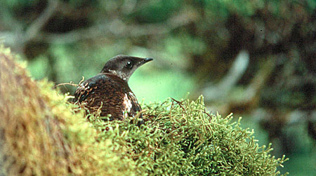Photo of a Marbled Murrelet