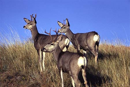 Photo of a Mule Deer