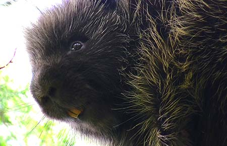 Photo of a North American Porcupine