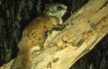 Photo of a Northern Flying Squirrel