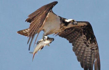 Osprey Species Profile...