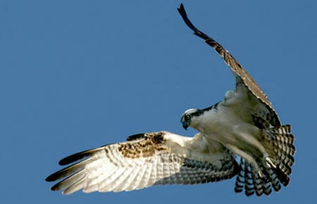 Photo of an Osprey
