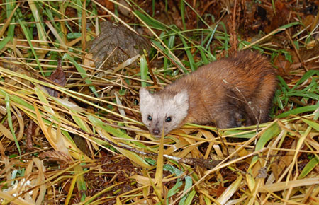 Photo of a Pacific Marten