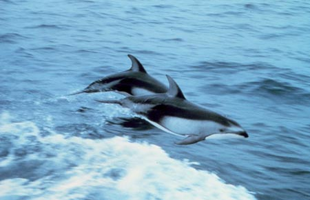 Picture of a Pacific White-sided dolphin
