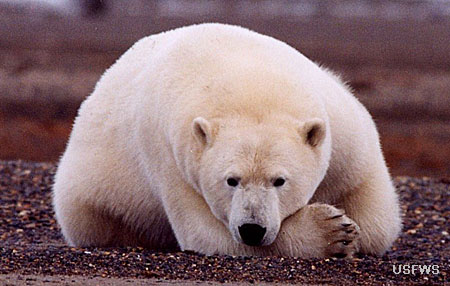 Photo of a Polar Bear