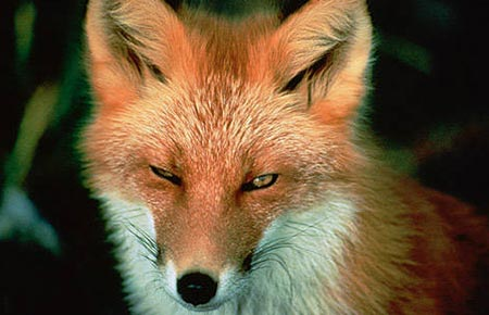 Picture of a Red Fox