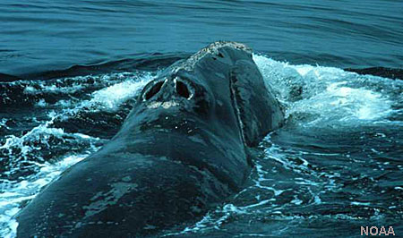 Photo of a North Pacific Right Whale