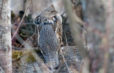 Picture of a Ruffed Grouse