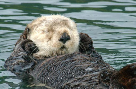 Photo of a Northern Sea Otter