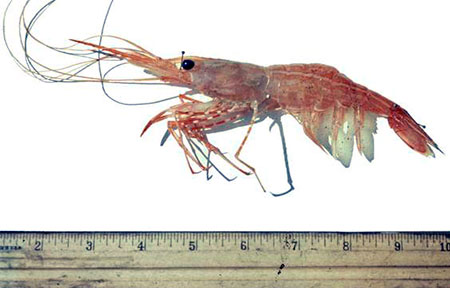 Photo of a Sidestriped Shrimp