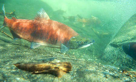 Photo of a Sockeye Salmon