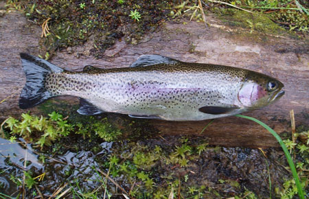 Photo of a Steelhead / Rainbow Trout