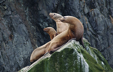 Photo of a Steller Sea Lion