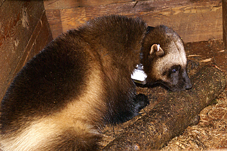 Photo of a collared wolverine