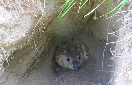 Photo of a Woodchuck in its den