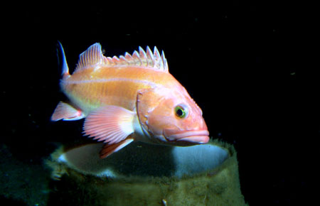Photo of a Yelloweye Rockfish