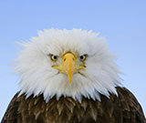 Eagle (courtesy Mark Emery)
