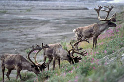 Photo of caribou
