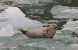 Harbor seal laying on ice