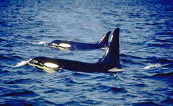 Two killer whales swimming
