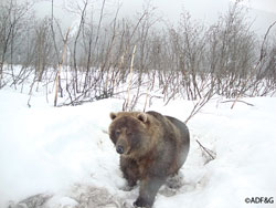 Bear photo taken by trailcam